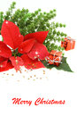 Christmas poinsettia flower Royalty Free Stock Photo