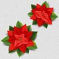 Christmas Poinsettia Isolated Transparent Background Royalty Free Stock Photo