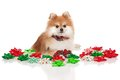 Christmas Pomeranian Royalty Free Stock Images