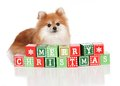 Christmas Pomeranian Royalty Free Stock Photo