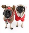 Christmas Pugs Royalty Free Stock Image