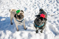 Christmas pugs a couple of with bows on their heads Royalty Free Stock Photography