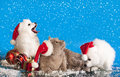 Christmas puppies and cat white spitz wearing a santa hat Stock Photography