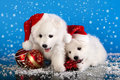 Christmas puppies spitz white wearing a santa hat Royalty Free Stock Photo
