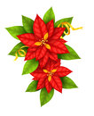 Christmas star flowers poinsettia with gold ribbon red isolated on white background eps vector illustration Royalty Free Stock Images