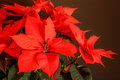 Christmas star plant picture of a Stock Images