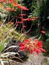 Christmas star plant Royalty Free Stock Photo
