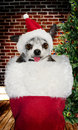 Christmas stocking with dog Royalty Free Stock Photo