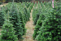 Christmas tree farm Stock Photo