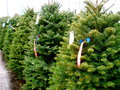 Christmas Tree Lot Royalty Free Stock Photo