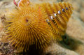 Christmas Tree Worm Stock Photo