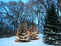 Christmas trees in Minnesota Royalty Free Stock Images