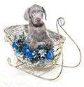 Christmas Weimaraner Puppy Stock Photos