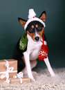 Christmass basenji Royalty Free Stock Photos