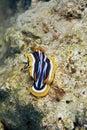 chromdorid chromodoris pyjama quadricolor Zdjęcia Stock