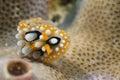 Chromodoris coi nudibranch underwater portrait macro Royalty Free Stock Images