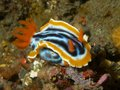Chromodoris magnifica macro portrait of Stock Photo