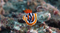 Chromodoris quadricolor or Four Colored Chromodoris