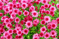 Chrysanthemum beautiful flowering pink background Stock Images