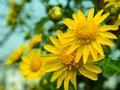 Chrysanthemum beautiful in the sunshine Royalty Free Stock Photos