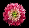 Chrysanthemum bright pink. Flower on isolated black background with clipping path without shadows. Close-up. For design. Royalty Free Stock Photo