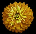 Chrysanthemum bright yellow flower on the black isolated background with clipping path. Closeup no shadows. Garden flower. Royalty Free Stock Photo