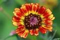 Chrysanthemum carinatum or Margriet Rainbow Flower