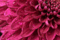 Chrysanthemum close-up Stock Image
