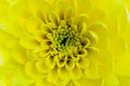 Chrysanthemum close up beautiful yellow flower for backgrond use Stock Images
