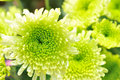 Chrysanthemum cluster in green color Stock Photography