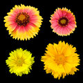 Chrysanthemum collection Stock Image