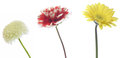 Chrysanthemum dahlia and transvaal daisy pictured in a white background Stock Photography