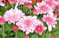 Chrysanthemum dof beautiful bouquet from many autumn pink Royalty Free Stock Images