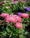 Chrysanthemum or florist mums close up shot of pink called in the sunlight garden Stock Images