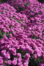 Chrysanthemum flower bed purple as background Royalty Free Stock Photography