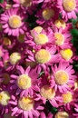 Chrysanthemum flower bed of purple chrysanthemums Royalty Free Stock Photos