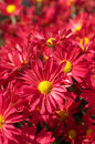 Chrysanthemum flower bed of red chrysanthemums Stock Photography