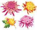 Chrysanthemum flower blossoms color set of four isolated on white Royalty Free Stock Photo