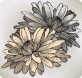 Chrysanthemum flower hand drawing vector illustr Royalty Free Stock Image