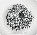 Chrysanthemum flower hand drawn. Vector illustrati Stock Photo