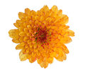 Chrysanthemum flower orange color isolated on white Royalty Free Stock Photo