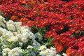 Chrysanthemum flower parterre the close up of with red and white flowers Royalty Free Stock Photo