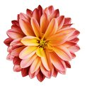 Chrysanthemum flower red-yellow on a white isolated background with clipping path no shadows. Closeup. For design. Royalty Free Stock Photo