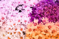 Chrysanthemum flower is sweet soft style abstract background Royalty Free Stock Photo