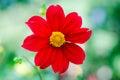 Chrysanthemum flower in wildlife red chrysánthemum Stock Images