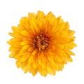 Chrysanthemum flower yellow isolated on white background Royalty Free Stock Photos