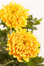 Chrysanthemum Flowers Royalty Free Stock Photography