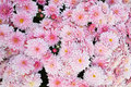 Chrysanthemum flowers the background of white pink Royalty Free Stock Images