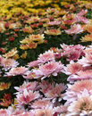 Chrysanthemum flowers bed Royalty Free Stock Photo