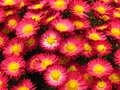 Chrysanthemum flowers bouquet. Beautiful small vibrant red and yellow autumn garden flower. Royalty Free Stock Photo